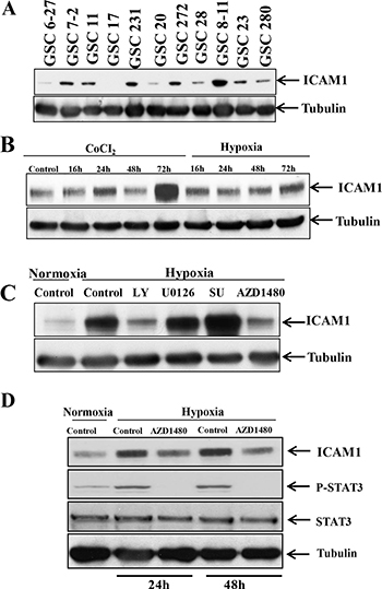 p-STAT3 upregulates ICAM-1 expression in GSC11 cells under hypoxic conditions.