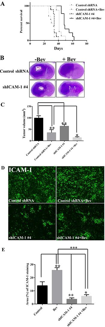 ICAM-1 knockdown prolongs survival in mice with bevacizumab-resistant glioblastoma.