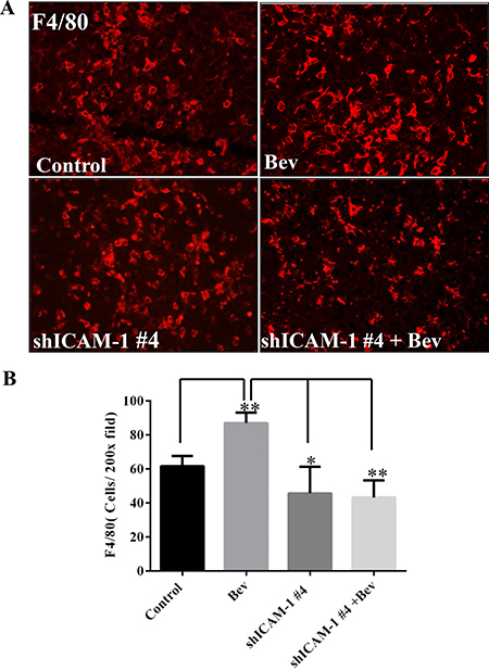 ICAM-1 knockdown inhibits macrophage infiltration into tumor in bevacizumab-treated mice.