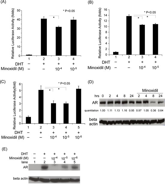 The mechanism of minoxidil suppression of AR-related functions.