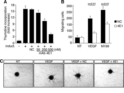 The mAb 4E1 affects cell proliferation, migration, and in vitro sprouting of human endothelial cells.