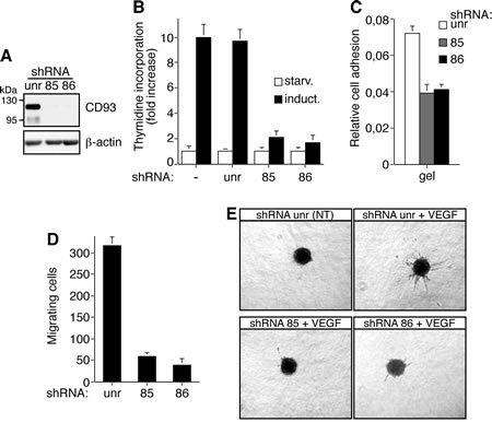 CD93 silencing affects cell proliferation, adhesion, migration, and in vitro sprouting of human endothelial cells.