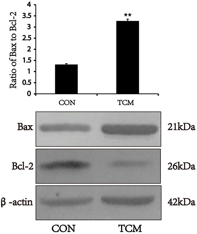 Effects of TCM on the expression of Bax and Bcl-2 in VSMCs.