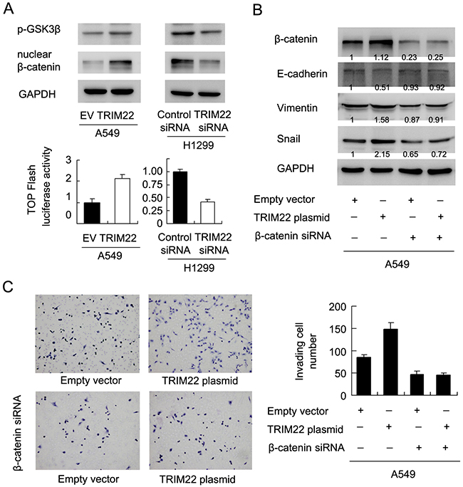TRIM22 activates AKT/GSK3β/β-catenin signaling to induce EMT.