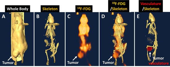 Fig 4: Human NPC tumor-bearing animal images showing the tumor location.