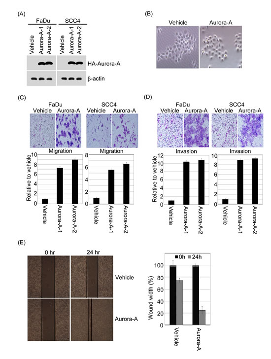 Exogenous Aurora-A regulates head and neck cancer cell migration and invasion.