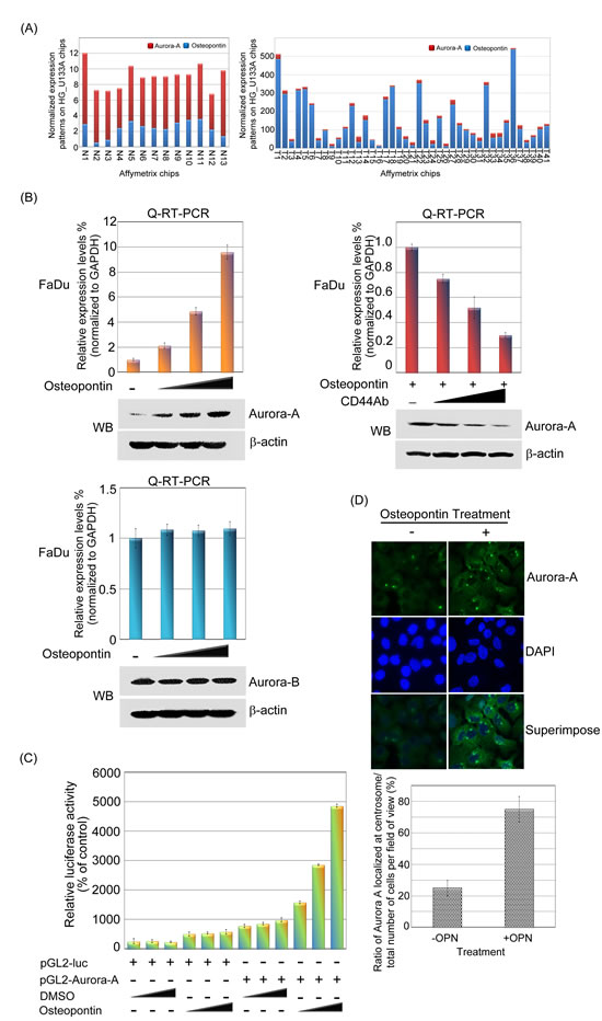 Aurora-A is up-regulated by osteopontin stimulation in human head and neck cancer cells.