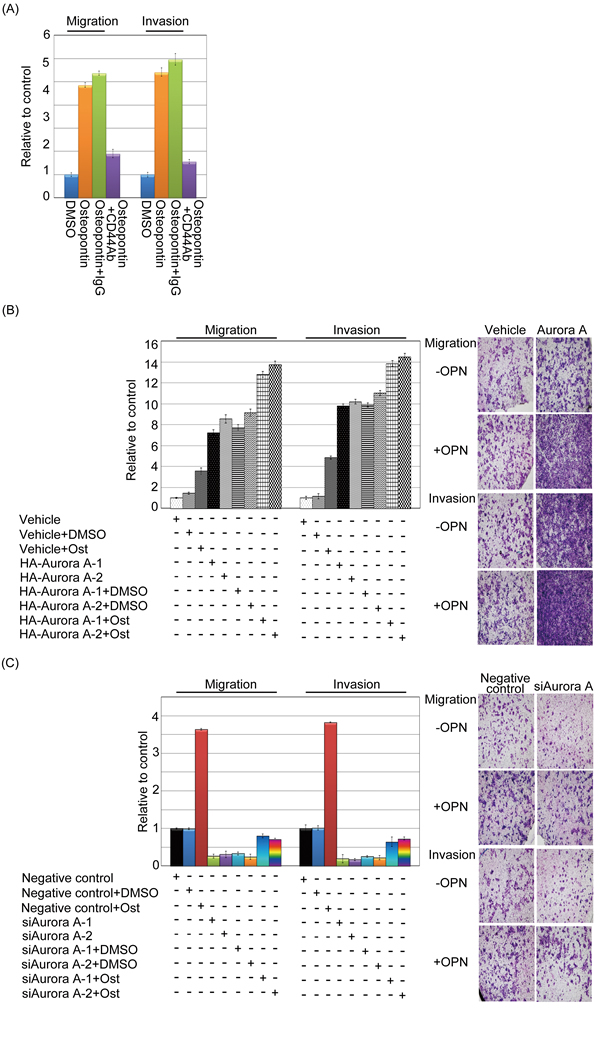 Osteopontin enhanced Aurora-A-induced migration and invasion in head and neck cancer cells.