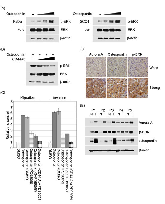 Figure 9:The activation of ERK regulated by osteopontin could promote cell motility in head and neck cancer cells and has a highly correlation with Aurora-A and osteopontin expressions in human aggressive HNSCC.