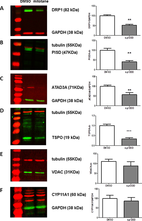 Expression of MAM components by Western Blot analyses.