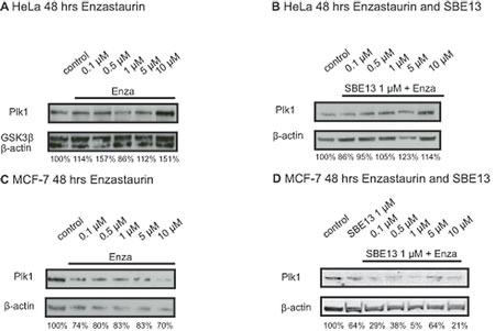 Western Blot analyses of Plk1 protein expression in HeLa and MCF-7 cells 48 hours after treatment with Enzastaurin and SBE13.