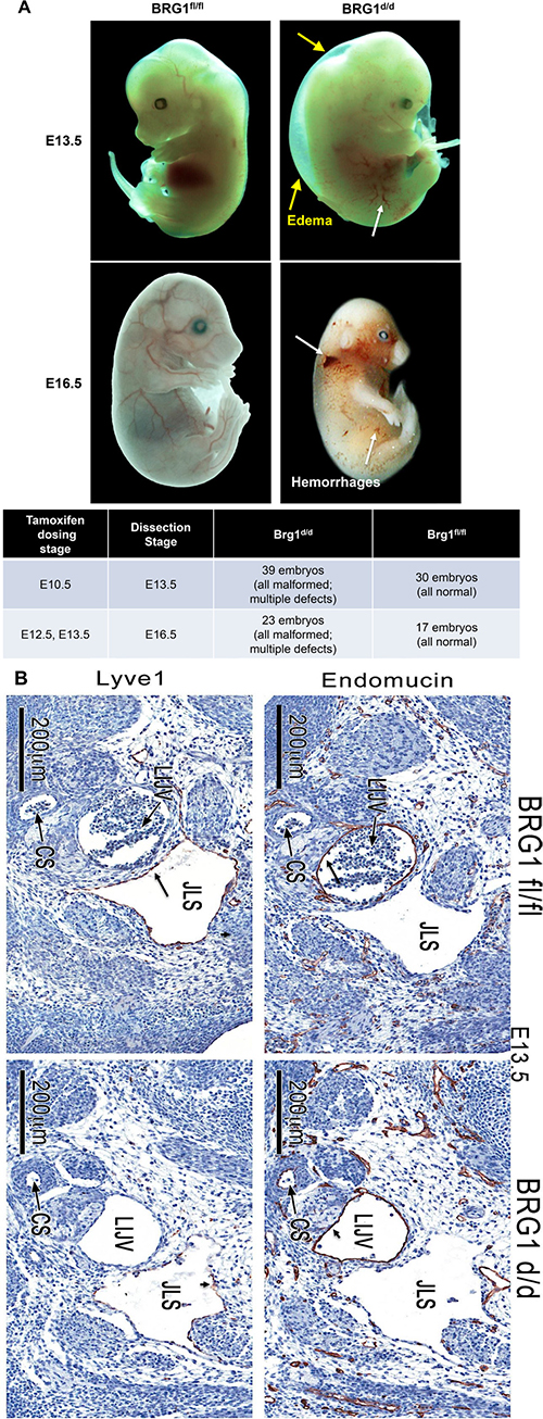 BRG1-deficient embryos show hemorrhages.