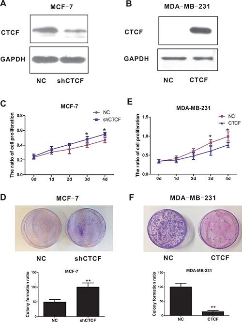 CTCF suppresses breast cancer cell proliferation and tumorigenicity.