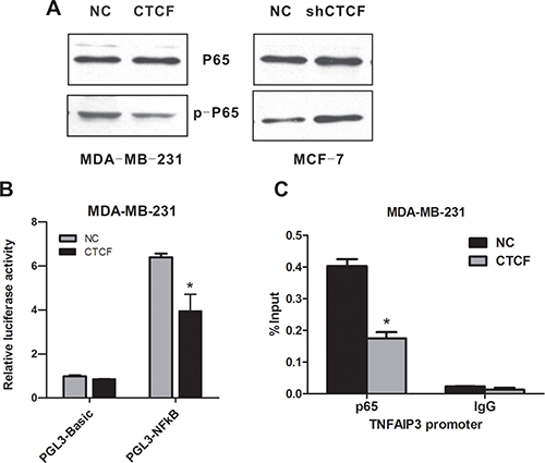 CTCF inhibits NF-κB (p65) activation.