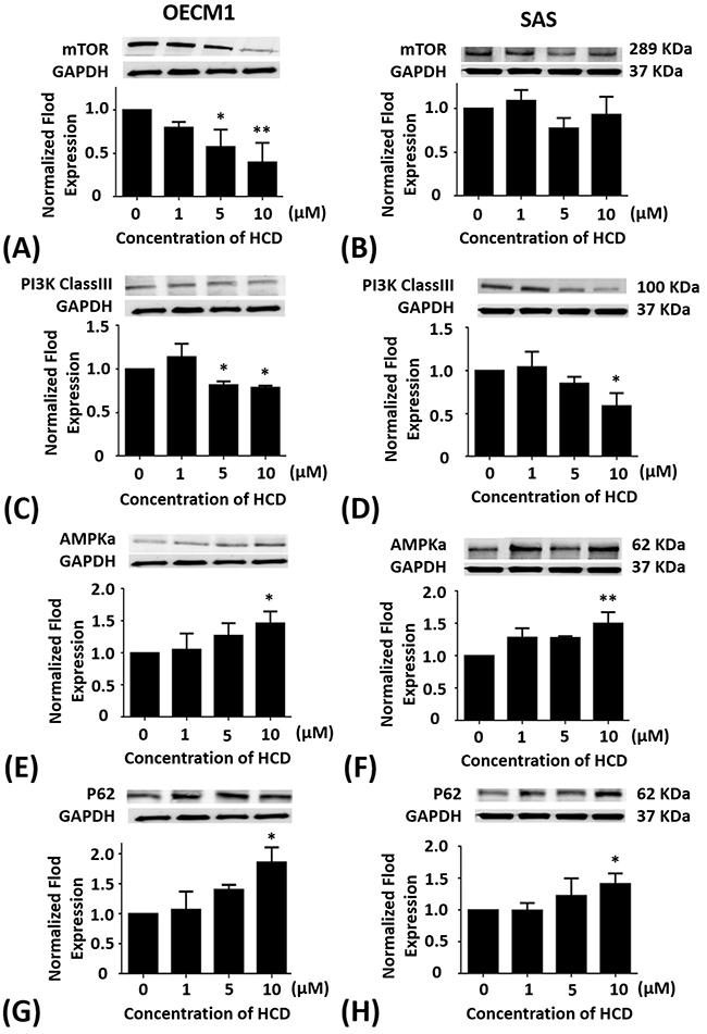 Altered protein levels of mTOR, PI3K Class III, AMPKα, and P62 of OECM1 and SAS cells treated with HCD.