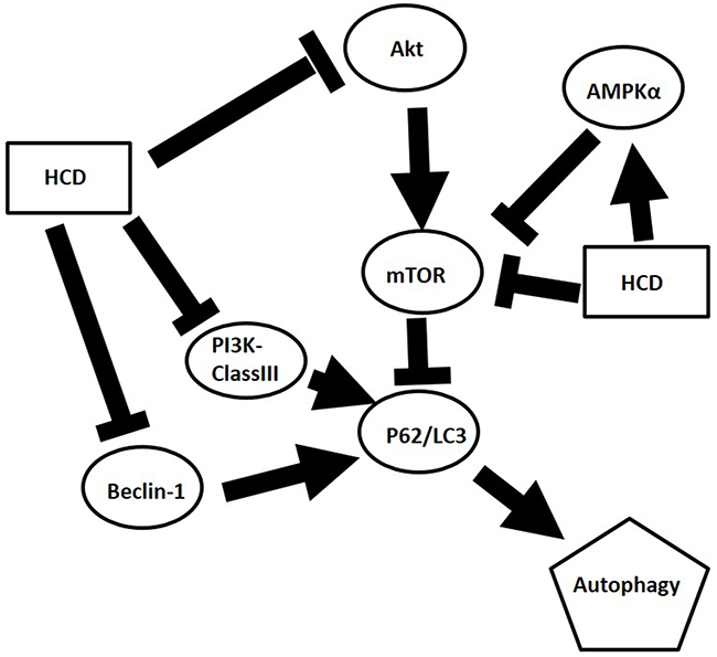 Graphic abstract of postulated mechanism of HCD in OSCC.