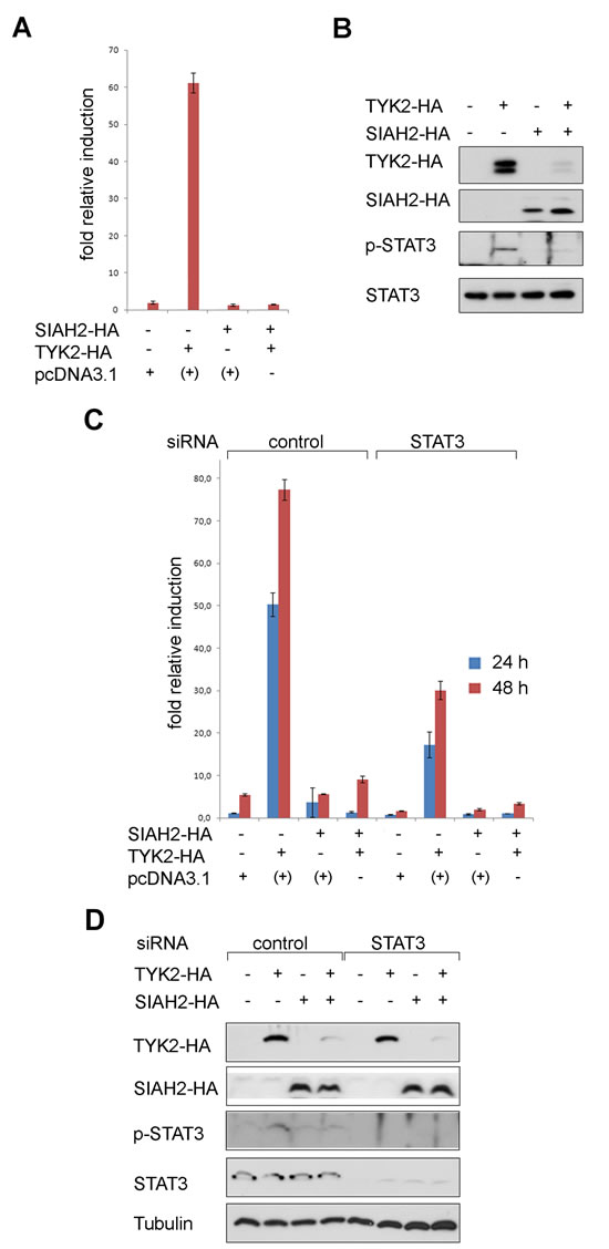 Fig 3: SIAH2 blocks TYK2 signaling to STAT3 in lung cancer cells.