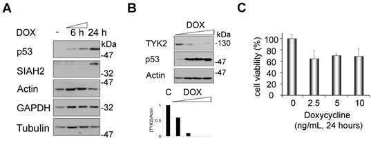 Fig 4: Induction of SIAH2 by p53 is linked to a decrease of endogenous TYK2.