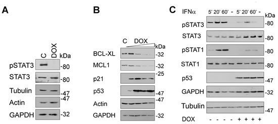 Fig 5: Induction of p53 blocks STAT signaling.