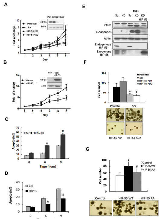 HIP-55 promotes cancer cell survival.