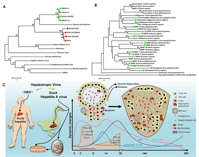 """Comparatively phylogenetic relationship with """"Hepatitis A virus"""" and fibrosis-related genes in humans and ducks and the process of liver injury and repair during DHAV infection."""