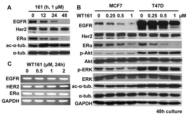 WT161 downregulates EGFR and ERα expression.