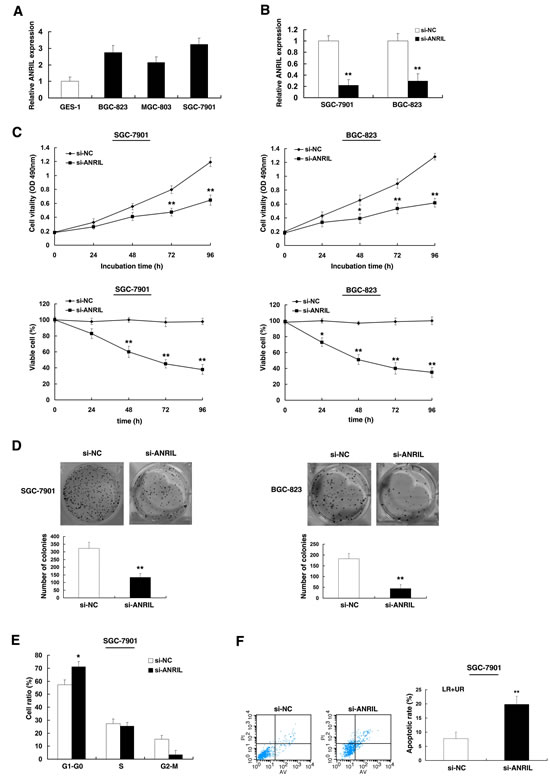 Effect of ANRIL on gastric cell growth in vitro.