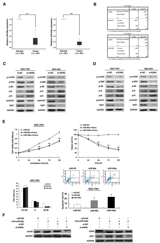 ANRIL could control target genes of miR-99a/miR-449a, thus regulating gastric cancer cell proliferation.
