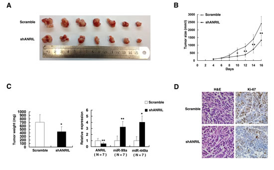 The impact of ANRIL on tumorigenesis in vivo.