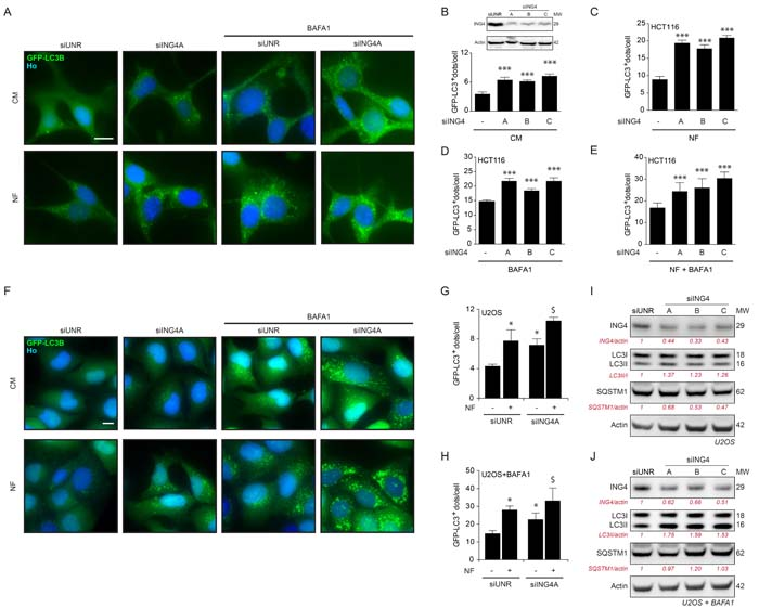 ING4 silencing induces autophagy.