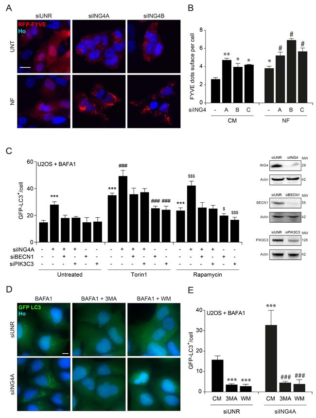 ING4 silencing leads to autophagy due to an increase of the PIK3C3 activity.