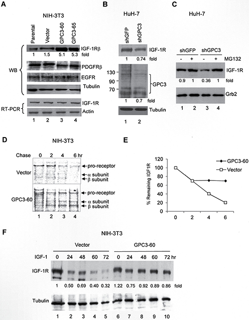 GPC3 decreases IGF-1-induced IGF-1R ubiquitination and degradation.