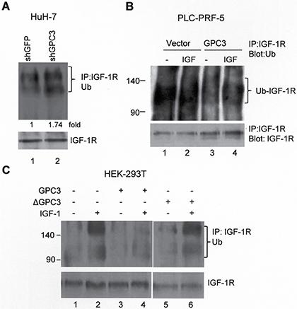 GPC3 decreases IGF-1R ubiquitination.