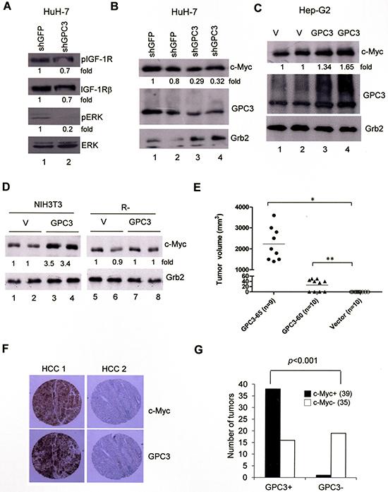 ERK phosphorylation and c-Myc expression are both dependent on GPC3.