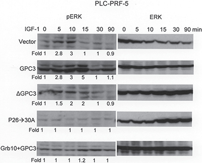 Grb10 blocks GPC3-enhanced IGF-1-induced ERK phosphorylation.