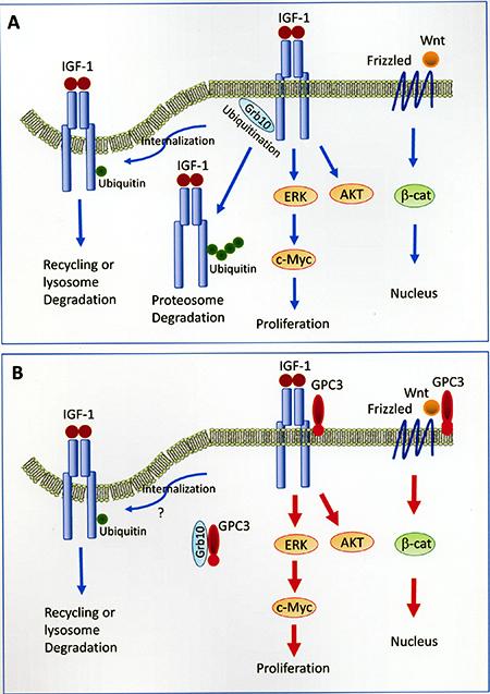 Models of GPC3-enhanced signal transduction.