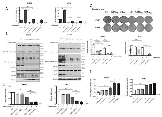 HER4 silencing decreases cell viability and enhances trastuzumab responses.