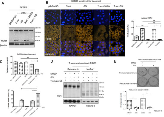 Gamma-secretase inhibitor prevents nuclear translocation and reverses resistance in trastuzumab-resistant cells.