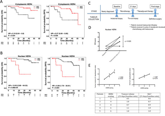 Nuclear HER4 predicts poorer trastuzumab response and is an adverse prognostic marker in HER2 positive breast cancer patients.