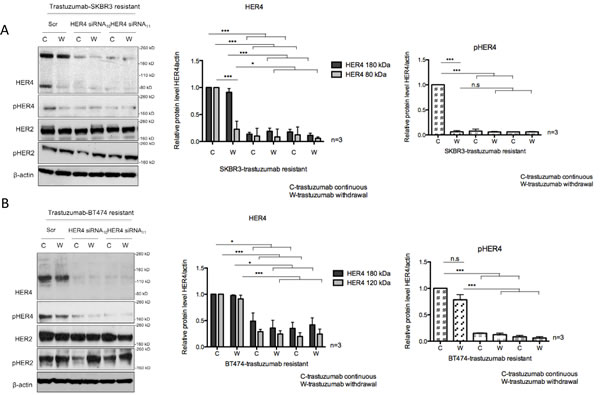 HER4 silencing reverses trastuzumab resistance and decreases cell counts in trastuzumab-resistant cells.