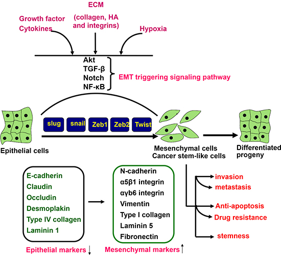 EMT triggering and signal transduction.