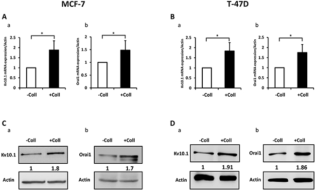 Collagen 1 increases Kv10.1 and Orai1 expression in both MCF-7 and T-47D cells.