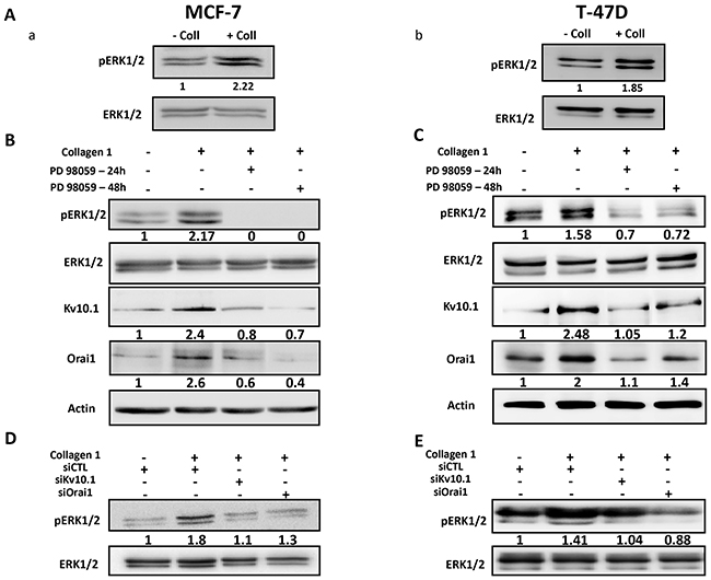 Collagen 1 increases Kv10.1 and Orai1 expression through ERK1/2 pathway.
