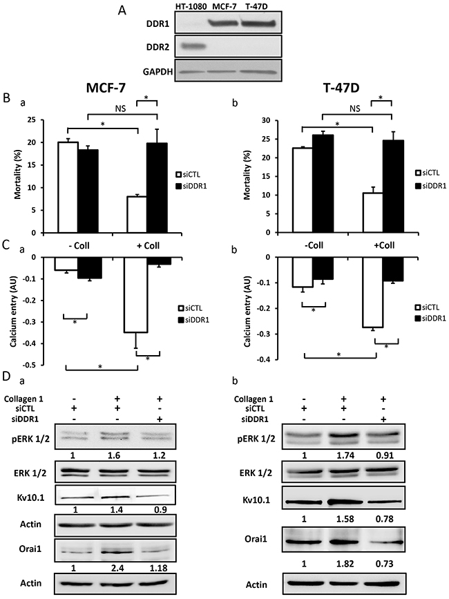DDR1 is expressed in MCF-7 and T-47D cells and promoted collagen-dependent survival.