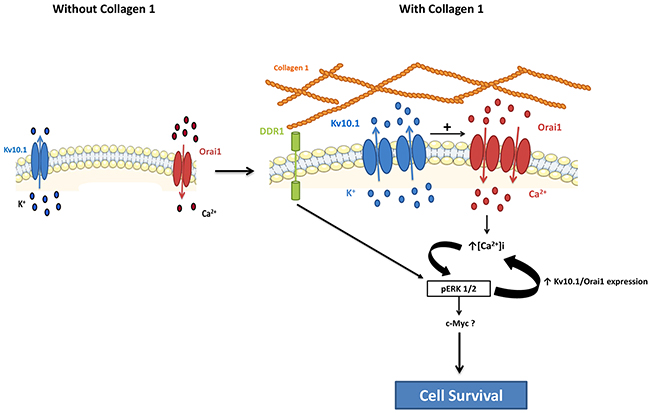 Schematic representation of potential involvement of the collagen 1 in breast cancer cell survival.