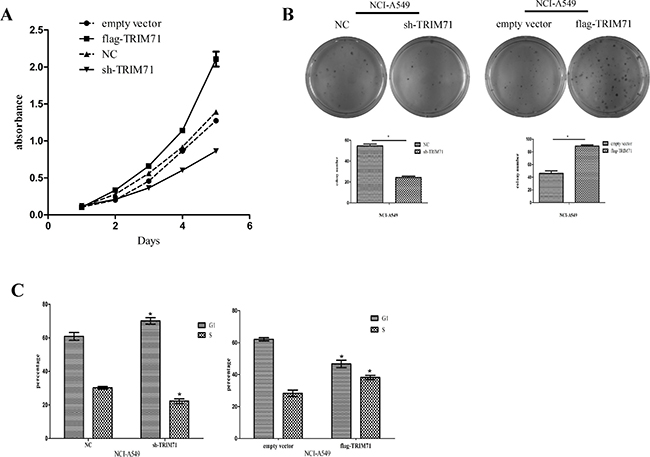 TRIM71 protein expression is positively correlated with the proliferation of non-small cell lung cancer cells.