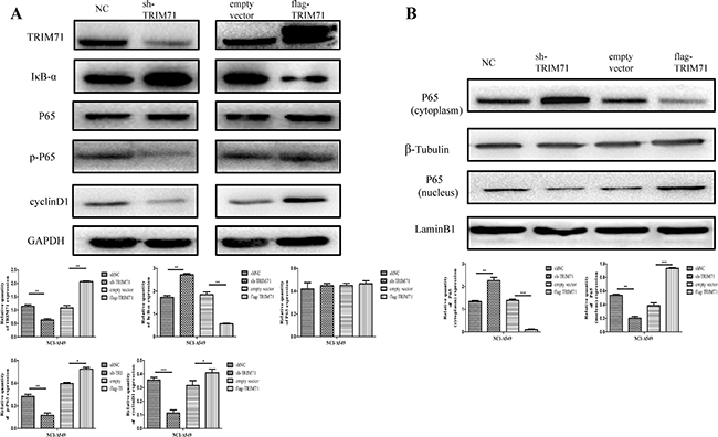 TRIM71 affects the proliferation of non-small cell lung cancer through the IκB-α/NF-κB pathway.