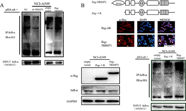 TRIM71 is involved in IκB-α ubiquitination and degradation through its ring finger structure, affecting the NF-κB pathway.