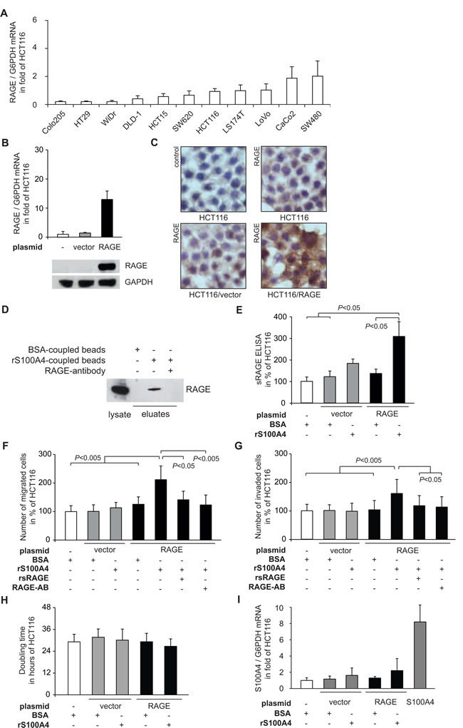 Fig 1: S100A4-RAGE interaction leads to release of sRAGE and increased cellular motility of the CRC cell line HCT116.