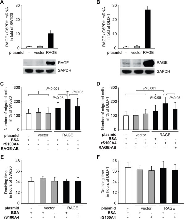 Fig 2: Extracellular rS100A4 increases cellular motility of the CRC cell lines SW620 and DLD-1.